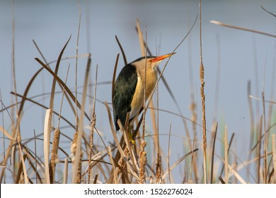 Little Bittern (Ixobrychus minutus) siting on the cane