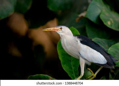 The Little Bittern (Ixobrychus minutus) is a wading bird in the heron family Ardeidae. Photo was taken in Bahrain
