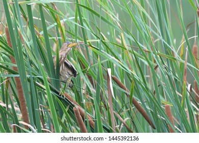 The Little Bittern (Ixobrychus minutus) is a wading bird in the heron family Ardeidae, native to the Old World, breeding in Africa, central and southern Europe, western and southern Asia, and Madagasc