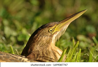 The little bittern (Ixobrychus minutus) is a wading bird. It is native in the Old World. It breeding in reeds. The plumage of the young birds is brown striped, which hides them.