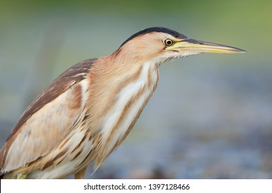 Little bittern (Ixobrychus minutus). Wildlife, Ukraine