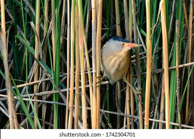Little Bittern male in the reeds. Lake Dubnica, Slovakia.Genus species Ixobrychus minutus.