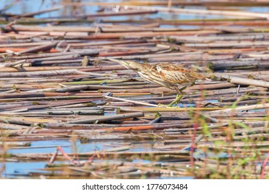 Little Bittern in Natural Habitat (Ixobrychus minutus)