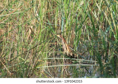 Little bittern in the reeds next to the water edge