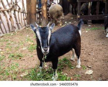 Little black baby goat portrait (Capra aegagrus hircus) with grass in its mouth. Young goat eating green grass in the animal yard.