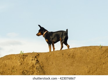 little black and brown smooth-haired dog are on the sand on blue sky background