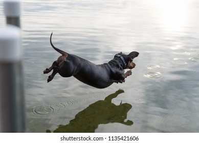Little black dachshund jumping in the water
