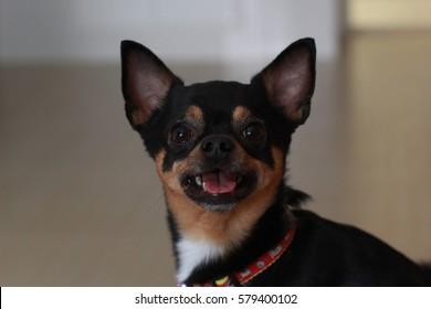 little black dog chihuahua look forward #5