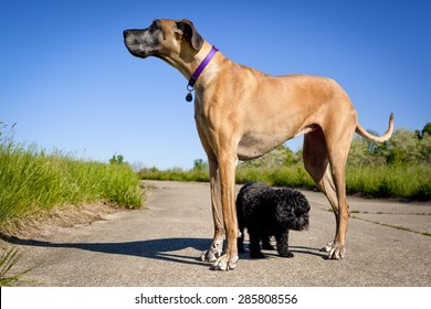 Little black dog walking under great Dane