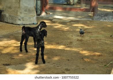 Little black goat.