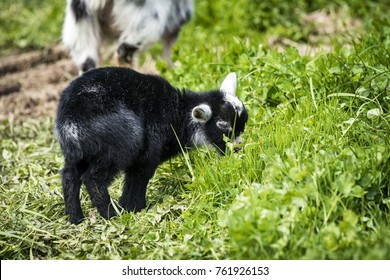 Little black goat youngster in black color eating green grass on a meadow
