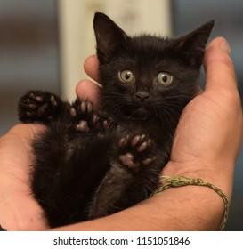 little black kitten in hands