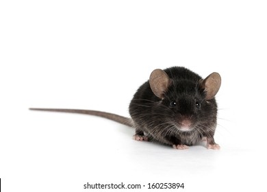 Little Black Mouse on a White Background