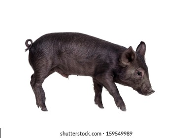 Little black pig isolated on the white background