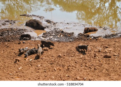 Little Black Pigs At Beige Sand