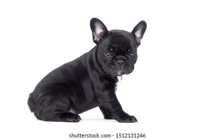 little black puppy breed French bulldog looks up on a white background