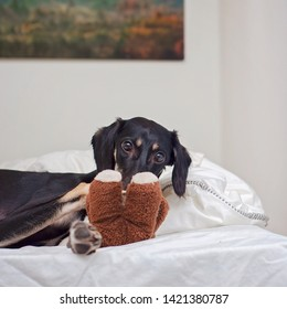 A little black saluki puppy (5 months) is relaxing in bed between sheets in Finland