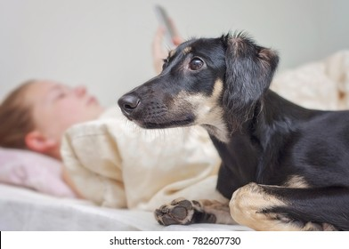 A little black saluki puppy (persian greyhound) in bed with a young girl. Antisocial teenager is staring cellphone and seen blurry on the background