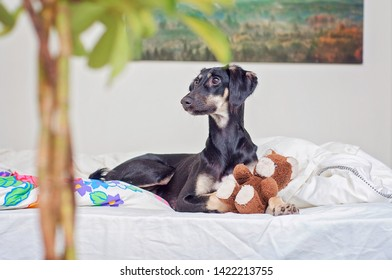 A little black saluki puppy is playing with teddy bear in bed, in Finland