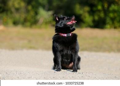 Little black Schipperke