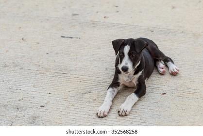 little black Thai dog lay down on the floor