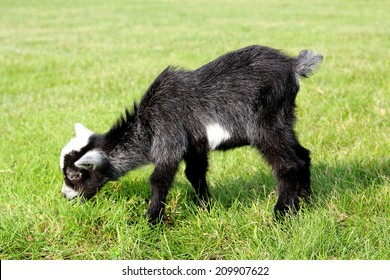 A little black and white baby goat is outside eating grass on the farm.