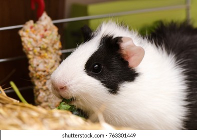 Little black and white guinea pig eating parsley.