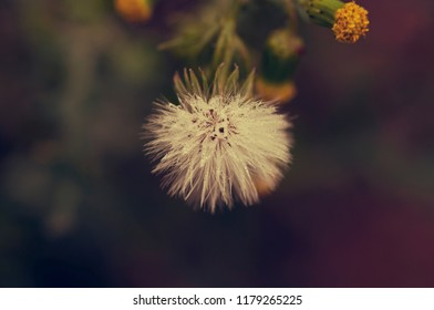 Little blowball with morning dew. Macro image with a soft focus.