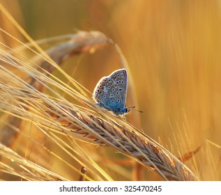 Little blue butterfly resting on a barley
