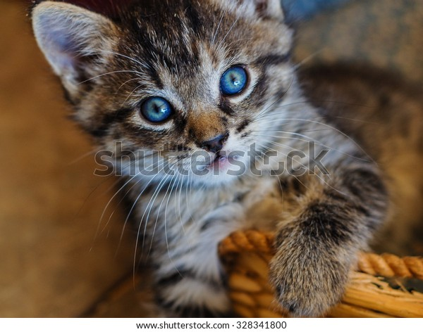 Little blue eyes. This playful little kitten stopped just long enough to capture the gaze of those deep blue eyes.