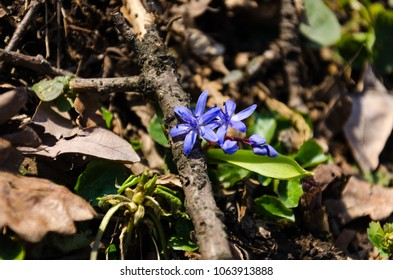 Little blue flower blooming in forest