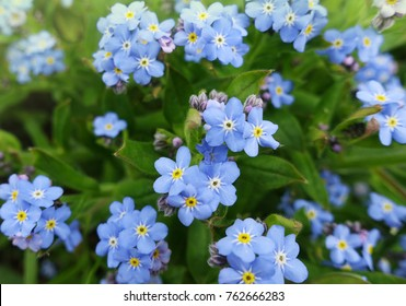 Little blue forget-me-not flowers on spring meadow