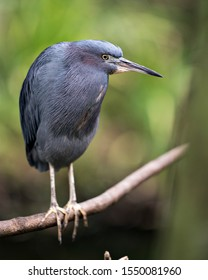 Little Blue Heron bird close up perched on a branch exposing its body, head, eye, beak, feet with a nice bokeh background enjoying its surrounding and environment.