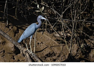 Little Blue Heron - Egretta caerulea, blue gray heron from New World fresh waters and mangrove, Costa Rica.
