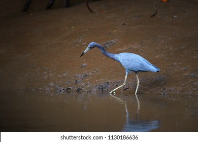 Little blue heron, Egretta caerulea, small american blue-grey heron on the prowl of crustaceans during low tide on muddy banks of river Tarcoles. Wildlife photography in Costa Rica.