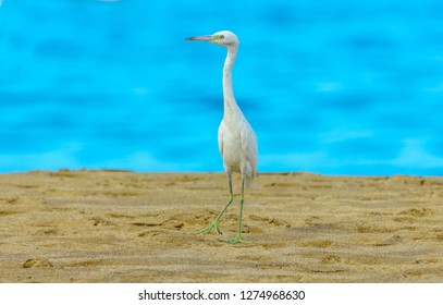 Little Blue Heron (Egretta caerulea) a juvenile Little Blue Heron still with white plumage, also has yellow legs foraging on the beach in Castara, Tobago, Caribbean, West Indies. Daytime. Landscape