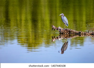 A little blue heron (Egretta caerulea) rests on a shell-encrusted fallen tree in the waters of Ding Darling National Wildlife Refuge on Sanibel Island, Florida.