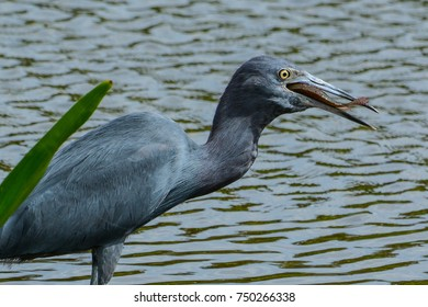 A little blue heron with a fish it has caught as it starts to swallow it