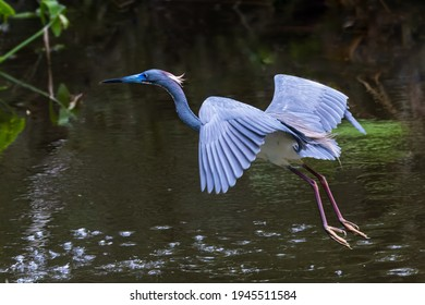 Little Blue Heron in Flight Over a Pond in the Mangroves of Everglades National Park in Florida, USA