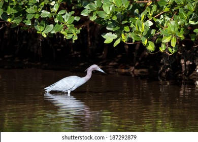 Little Blue Heron hunts for fish in a mangrove forest of coastal Florida