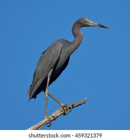 Little blue heron in Maryland