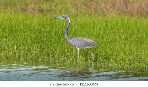 Little Blue Heron walking on the grassy wetlands
