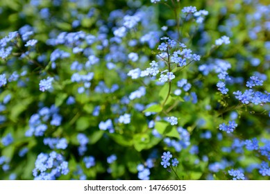 Little blue Jack Frost flowers, also known as False Forget-me-not