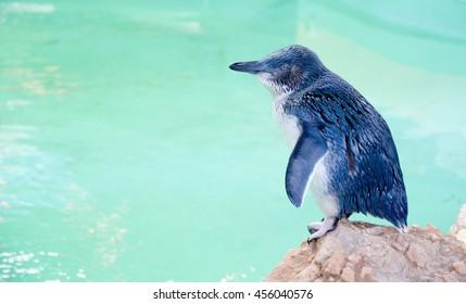Little Blue Penguin at Penguin Island in Rockingham, Western Australia/Penguin in Profile/ROCKINGHAM,WA,AUSTRALIA-JUNE 3,2016: Little Blue Penguin at Penguin Island in Rockingham, Western Australia.