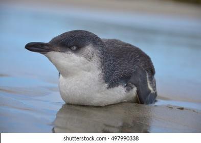 Little blue penguins or blue penguins, Farewell Spit, Kahurangi National Park, New Zealand