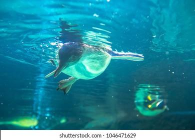 little blue penguins swimming underwater