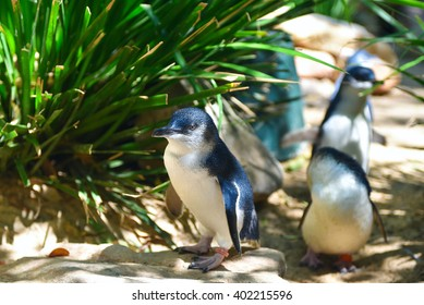 Little blue penguins walking in a herd in Featherdale Wildlife park zoo in Australia