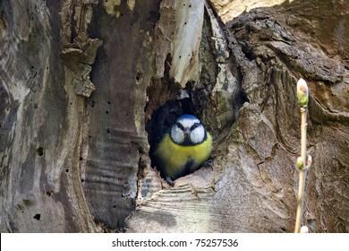 A little blue tit in a tree