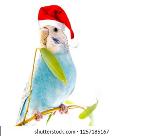 little blue wavy parrot with santa cap on white background isolated