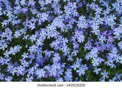 little blue white flowers spring bloom garden